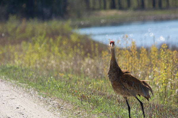 Sandhill Crane Art Print featuring the photograph Stopped by Linda Kerkau