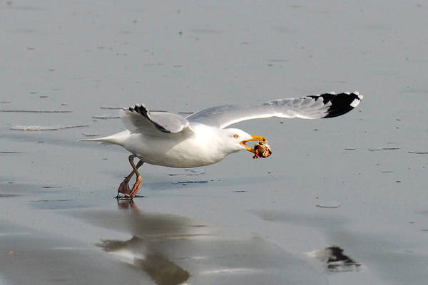 Gull Art Print featuring the photograph Stripped Billed Gull With Shell by Alan Lenk
