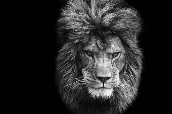 Lion art print featuring the photograph stunning black and white portrait of barbary lion on black