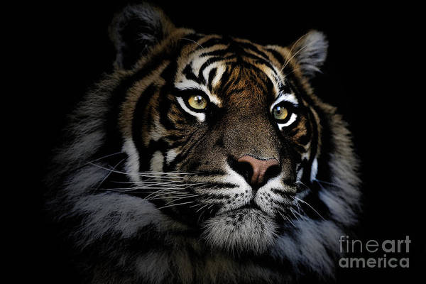 Sumatran Tiger Wildlife Endangered Art Print featuring the photograph Sumatran Tiger by Sheila Smart Fine Art Photography