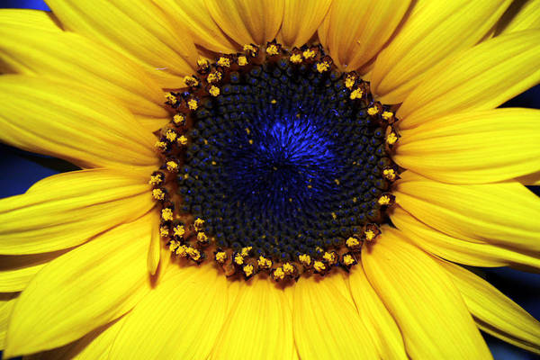 Sunflower Photography Art Print featuring the photograph Sunflower 2 by Evelyn Patrick