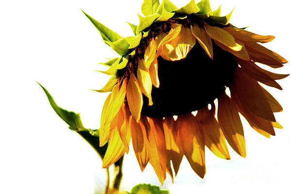 Sunflower Art Print featuring the photograph Sunflower Art by Robin Lynne Schwind
