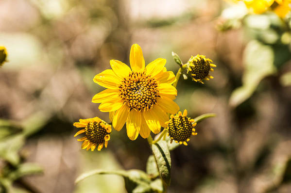 Sunflower Art Print featuring the photograph Sunflower by Chirag Patel