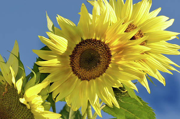 Flower Art Print featuring the photograph Sunflower Face by Barbara Treaster
