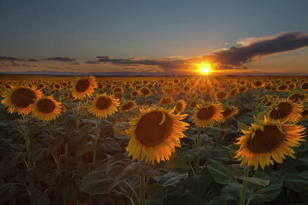 Horizontal Art Print featuring the photograph Sunflower Field - Colorado by Lightvision, LLC