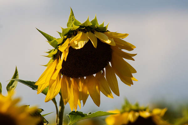 Sunflower Art Print featuring the photograph Sunflower by Robin Lynne Schwind