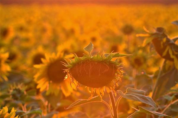 Art Print featuring the photograph Sunflower Sunset by Saige Ouellet