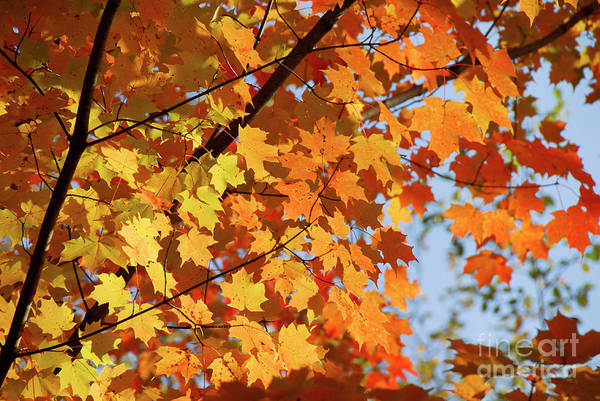 Fall Art Print featuring the photograph Sunlight In Maple Tree by Elena Elisseeva
