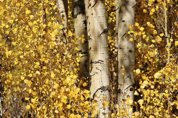 North America Art Print featuring the photograph Sunlight Shines On Golden Aspen Leaves by Charles Kogod