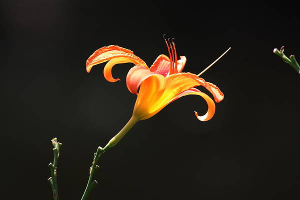 Flowers Art Print featuring the photograph Sunlit Lily Stretching by Larry Federman