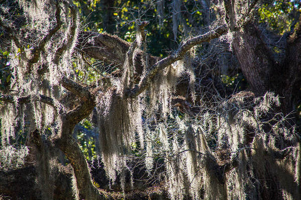 Moss Art Print featuring the photograph Sunlit Moss by Bonnie Marquette