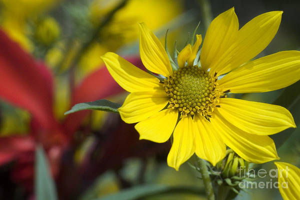 Yellow Art Print featuring the photograph Sunny Blooms by Jeannie Burleson