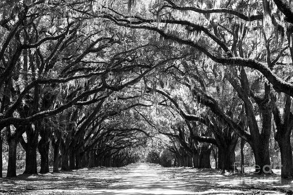 Live Oaks Print featuring the photograph Sunny Southern Day - Black And White by Carol Groenen