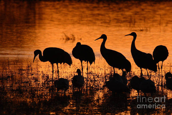 Crane Art Print featuring the photograph Sunset Reflections Of Cranes And Geese by Max Allen