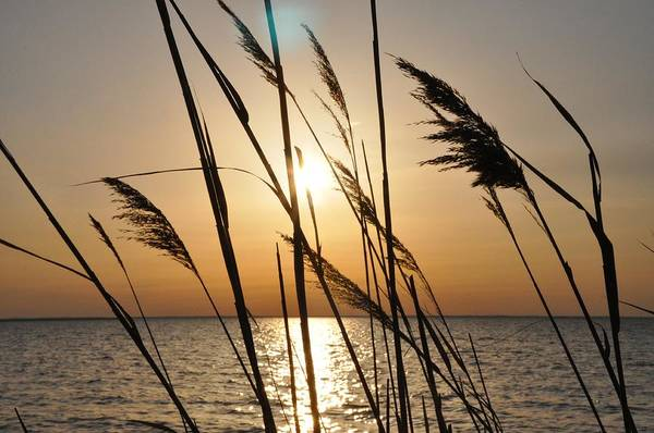 Sunset Art Print featuring the photograph Sunset Through The Dune Grass by Bill Cannon