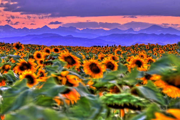 Sunsets Art Print featuring the photograph Sunsets And Sunflowers by Scott Mahon