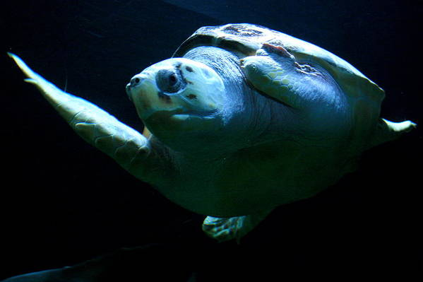 Turtle Art Print featuring the photograph Super Turtle by Aimee Galicia Torres