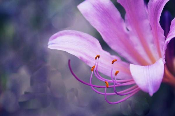 Flower Art Print featuring the photograph Suprise Lily Glimmer by Jim Darnall