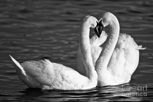 Swans Print featuring the photograph Swans by Brandon Broderick