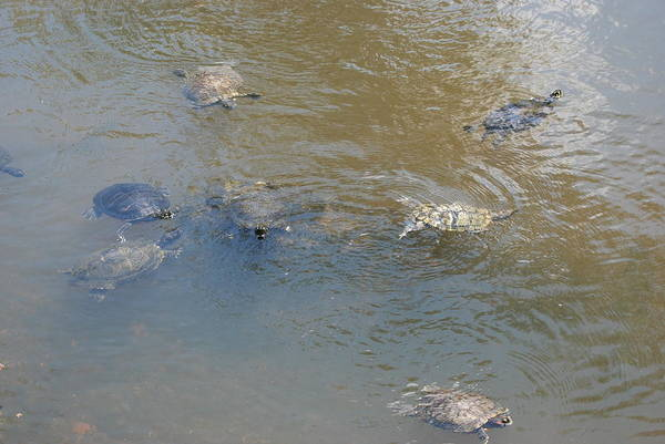 Water Art Print featuring the photograph Swimming Turtles by Rob Hans