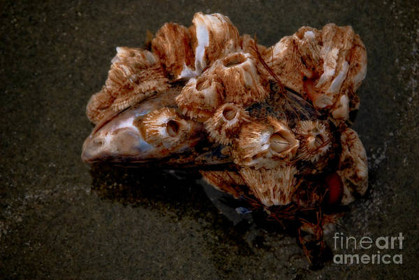 Barnacles Art Print featuring the photograph Symbiosis by Venetta Archer