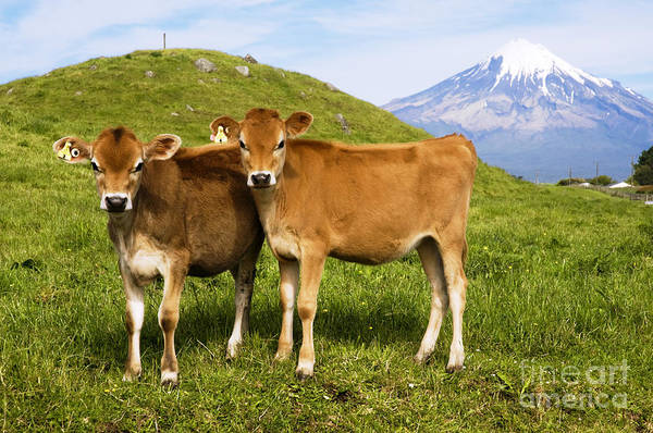 Adorable Art Print featuring the photograph Taranaki, Dairy Cows by Himani - Printscapes
