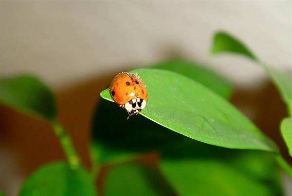 Ladybug Art Print featuring the photograph Tattered Ladybug by Dani Marie