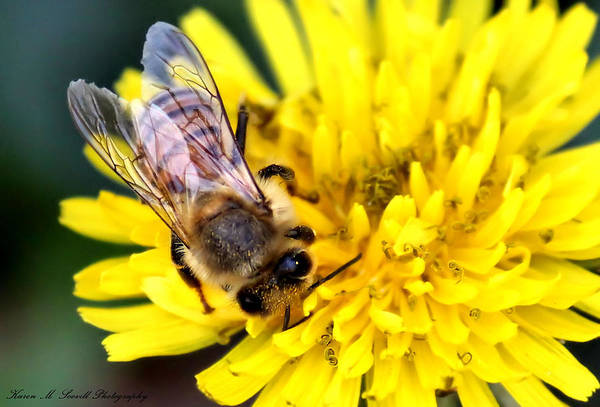Macro Print featuring the photograph The Bee by Karen M Scovill
