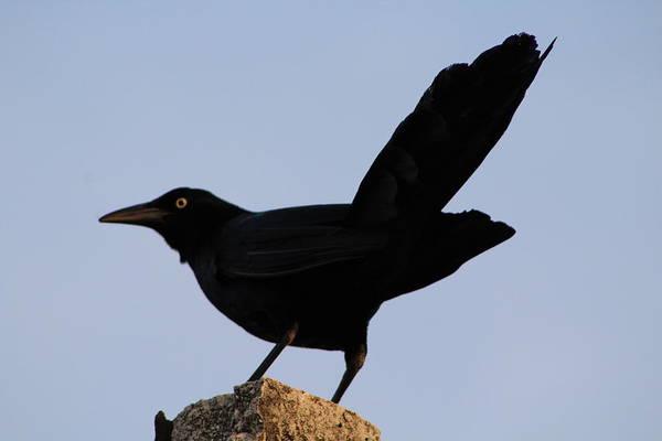 Crow Art Print featuring the photograph The Black Crow II by Toni Fontana