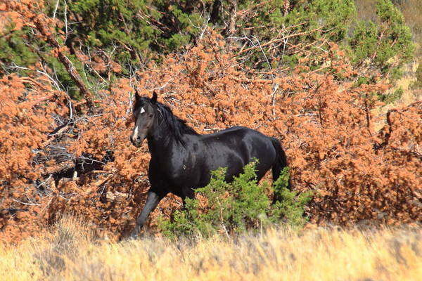 Wild Mustang Art Print featuring the photograph The Black Stallion by Rod Giffels