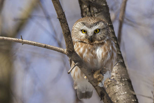 Northern Saw-whet Owl Art Print featuring the photograph Northern Saw-whet Owl by Mircea Costina Photography