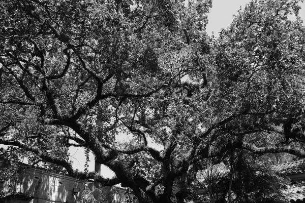 Black And White Art Print featuring the photograph The Monastery Tree by Rob Hans