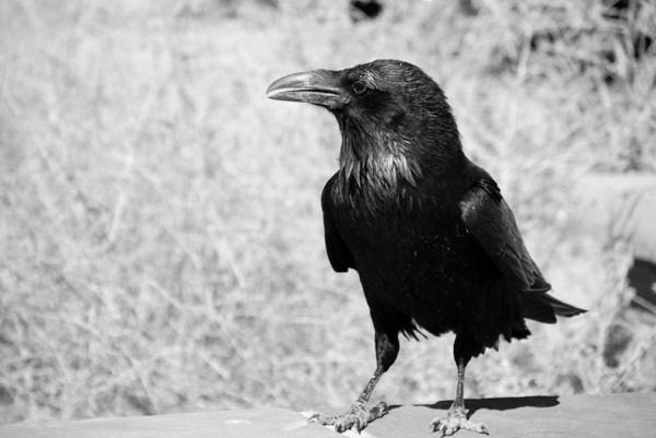 Raven Art Print featuring the photograph The Raven by Susanne Van Hulst