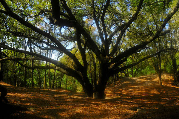 Live Oak Tree Art Print featuring the photograph The Sacred Oak by David Lee Thompson