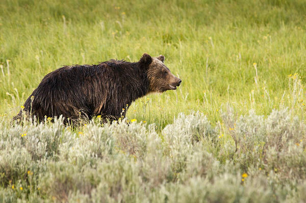 Grizzly Bear Art Print featuring the photograph The Wet Grizzly by Chad Davis