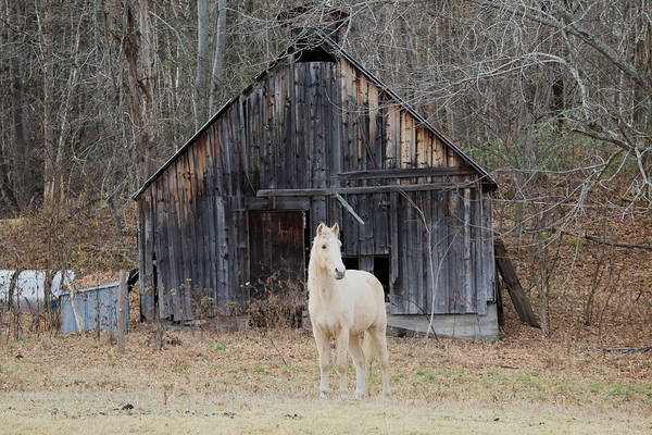 Barn Art Print featuring the photograph The White Horse by Barretreasures Photography