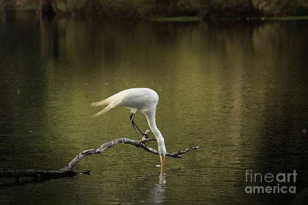 Heron Photographs Art Print featuring the photograph Thirst by Kim Henderson