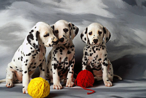 Dalmatian Puppies Three Puppy Dalmatians Pet Pets Animal Animals Dog Dogs Doggy Sit Sits Sitting Young Pedigree Canine Domestic Domesticated Purebred Purebreed Breed Gray Background Vertical Color Colour Colors Canines Calm Cute Hound Hounds Innocence Spot Spots Companionship Together Togetherness Art Print featuring the photograph Three Dalmatian Puppies by Garry Gay