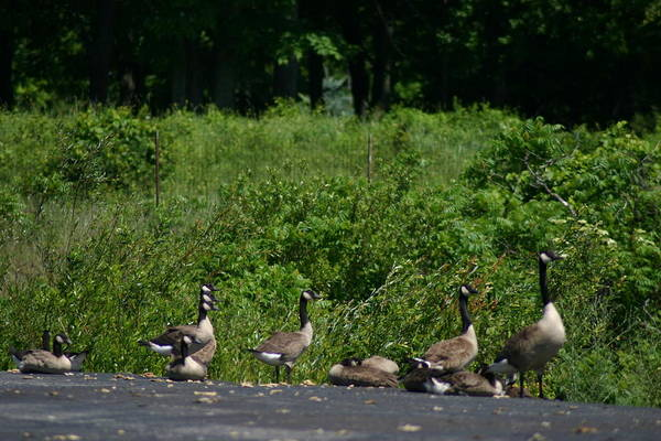 Geese Art Print featuring the photograph Three Heads by Kevin Dunham