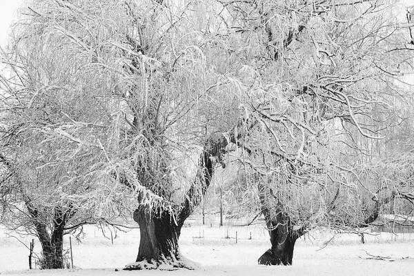Black And White Art Print featuring the photograph Three Trees In The Snow - Bw Fine Art Photography Print by James BO Insogna