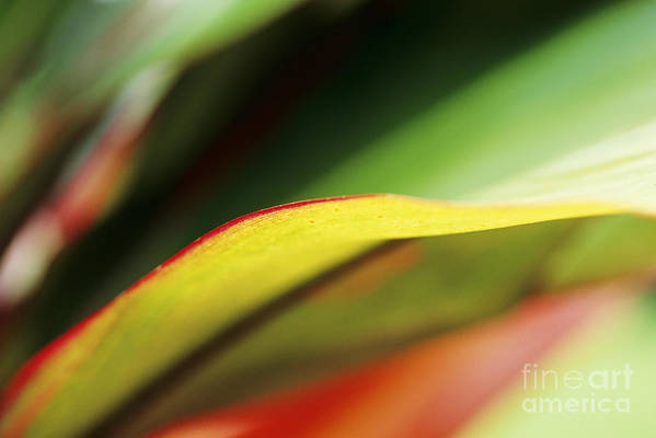 Abstract Art Print featuring the photograph Ti-leaf Abstract by William Waterfall - Printscapes