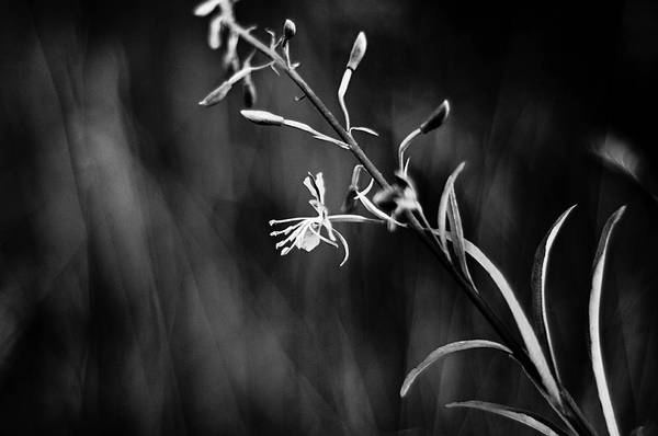 Black And White Photography Art Print featuring the photograph Tickled By The Wind by Kelly Hayner