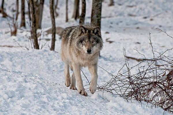 Michael Cummings Art Print featuring the photograph Timber Wolf In Snow by Michael Cummings