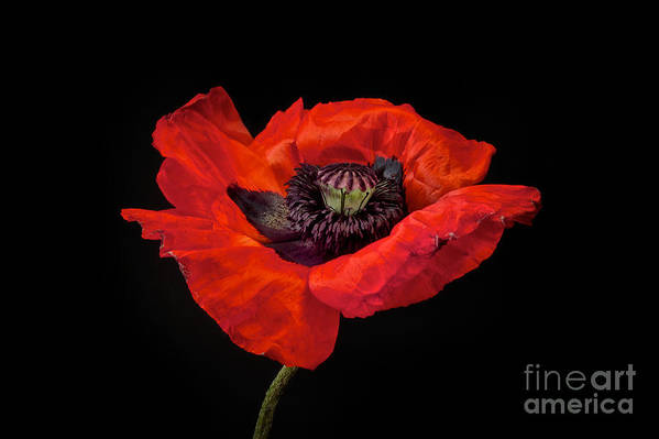 Red Oriental Poppy Art Print featuring the photograph Tiny Dancer Poppy by Toni Chanelle Paisley