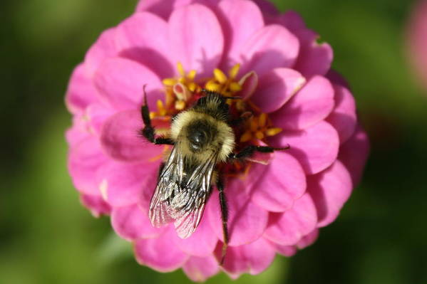 Bee Art Print featuring the photograph To Bee Or Not To Bee by Annie Babineau