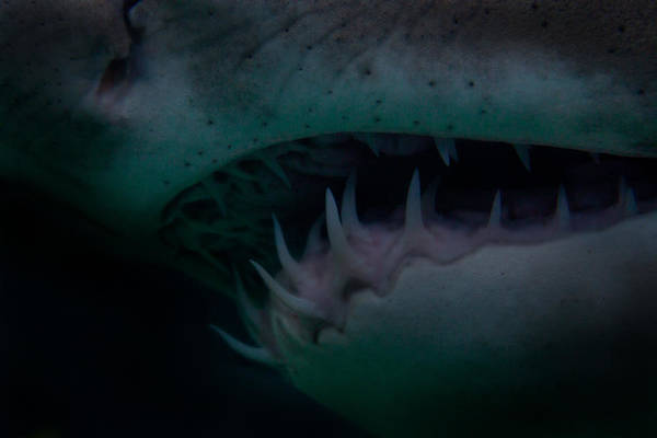 Shark Art Print featuring the photograph Toothpick by Donne Beukes