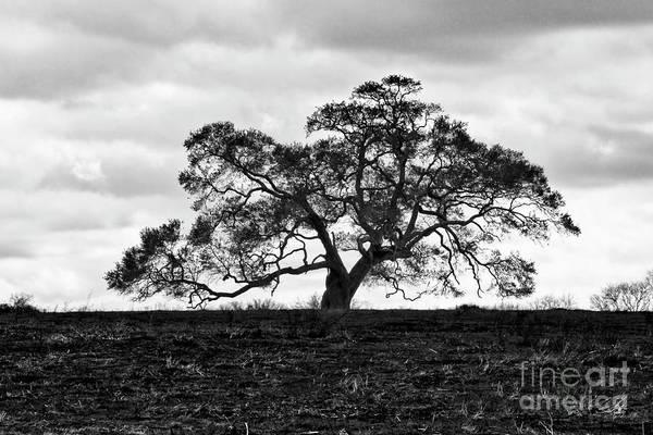 Oak Tree Art Print featuring the photograph Tortue Oak by Scott Pellegrin