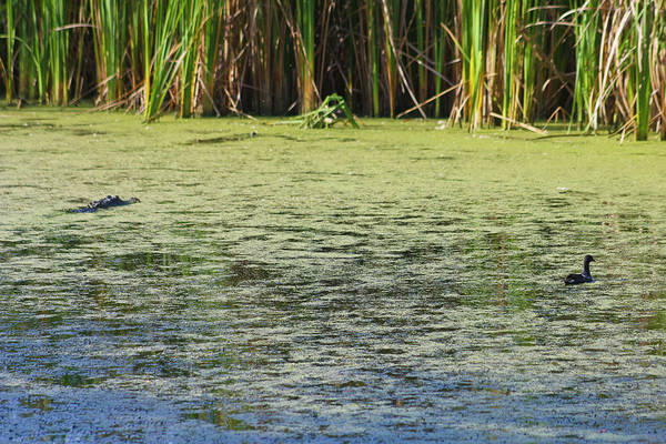 Duck Art Print featuring the photograph Tranquility by Michael Dillard
