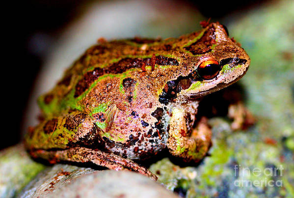 Tree Frog Print featuring the photograph Tree Frog Close Up by Nick Gustafson