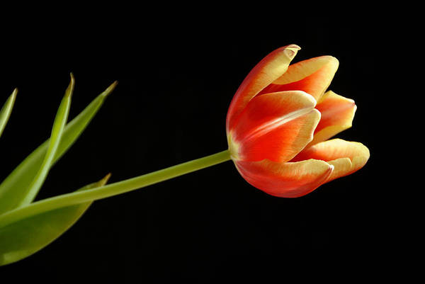 Flower Art Print featuring the photograph Tulip by Ed Zirkle